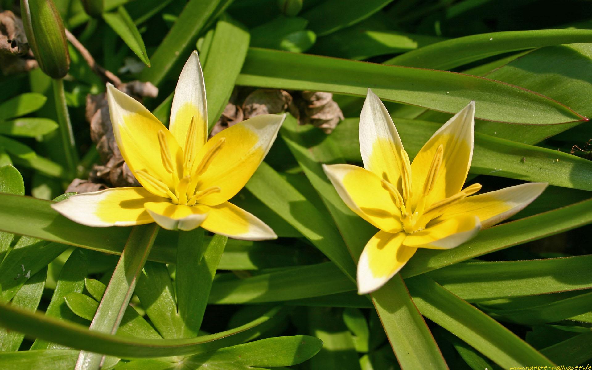 pflanzen bl ten blumen b ume heilpflanzen bl ten tulpe wassertropfen. Black Bedroom Furniture Sets. Home Design Ideas