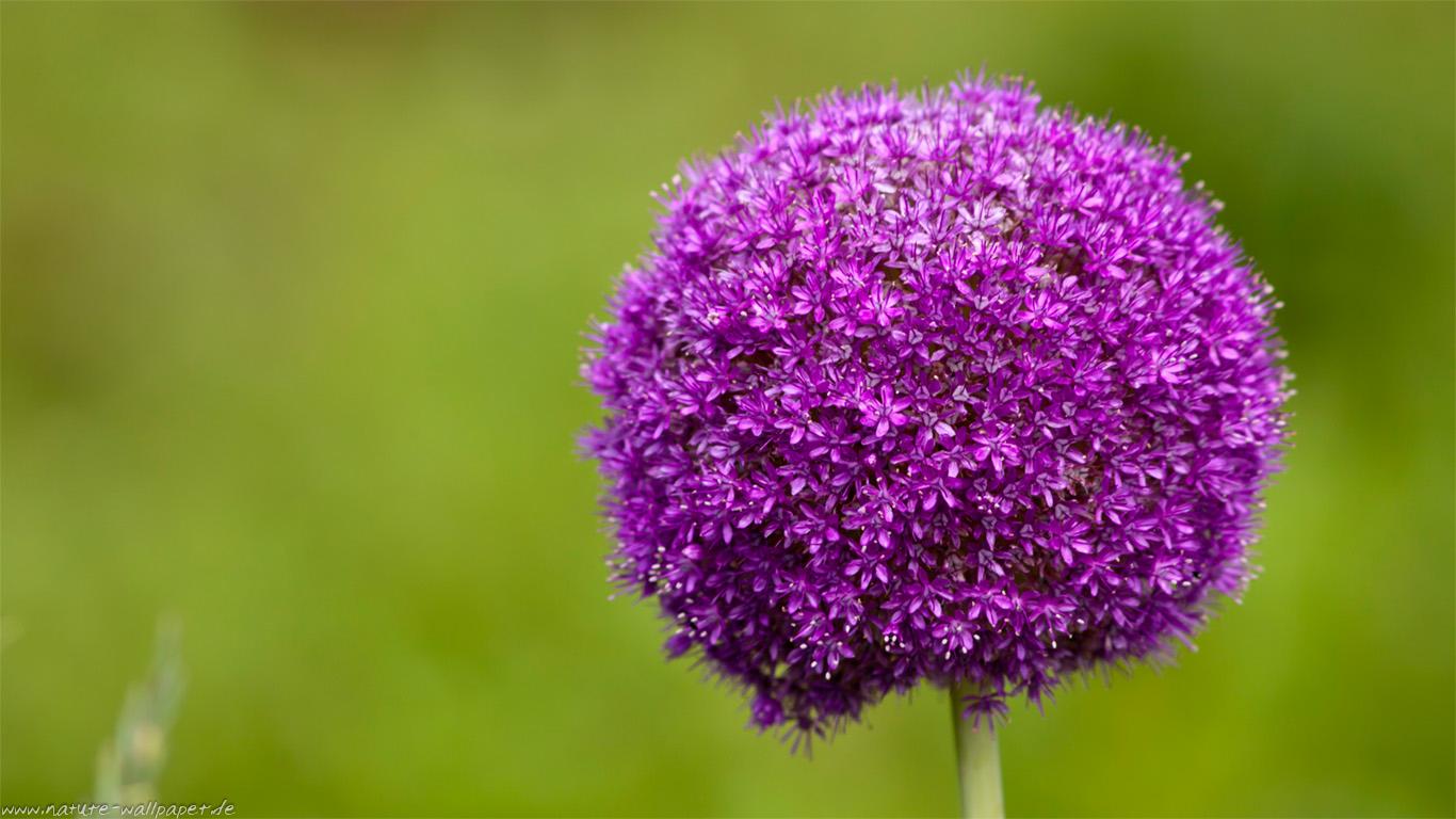 pflanzen bl ten blumen b ume heilpflanzen tulpen. Black Bedroom Furniture Sets. Home Design Ideas